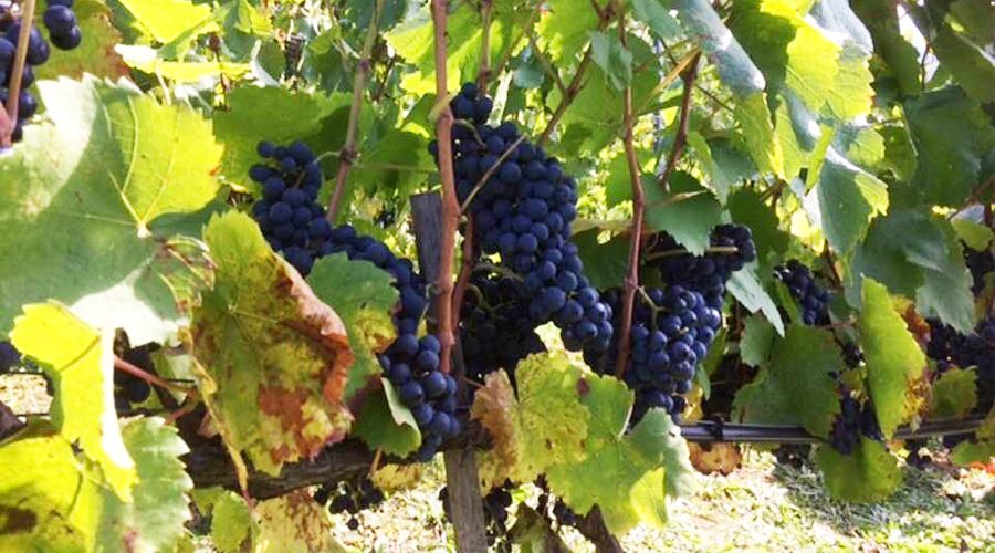 vigne-raisin